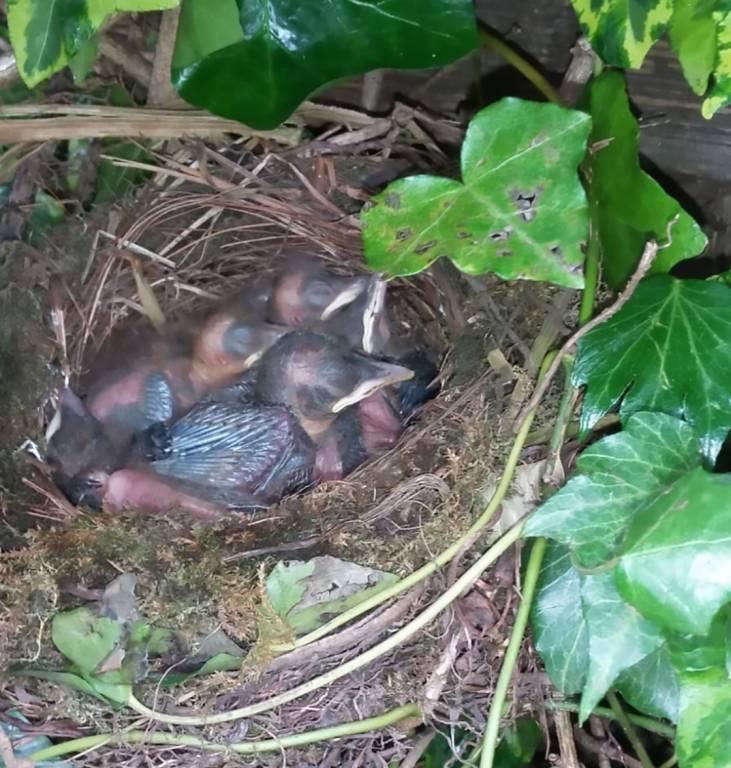 Nest jonge merels aan de Weerselosestraat: Foto: Bé van Oosten
