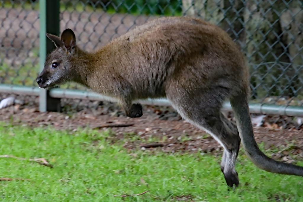 Wallaby Trudi heeft het prima naar haar zin in het hertenkamp