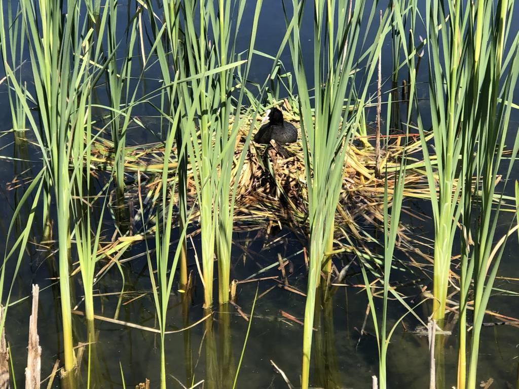 Broedende waterkip in het Weleveld. Foto: Fred